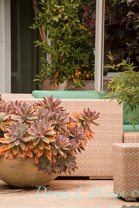 Graptoveria hybrid 'Fred Ives' container_0845