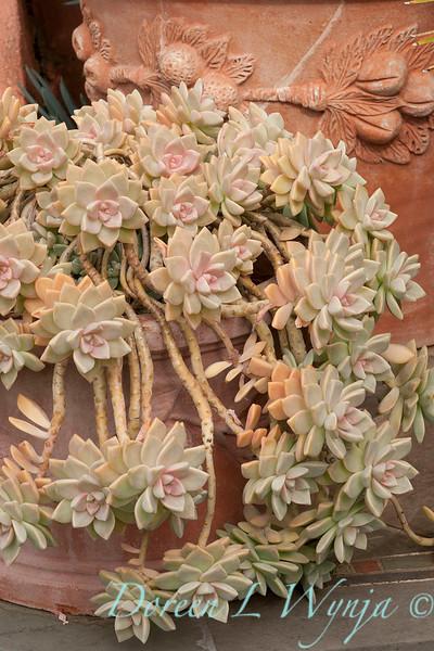 Graptopetalum paraguayense_002