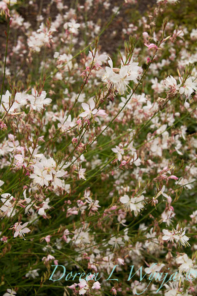 Gaura lindheimeri Summer Breeze_024_Doreen Wynja