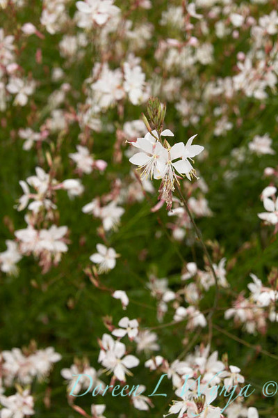 Gaura lindheimeri Summer Breeze_022_Doreen Wynja