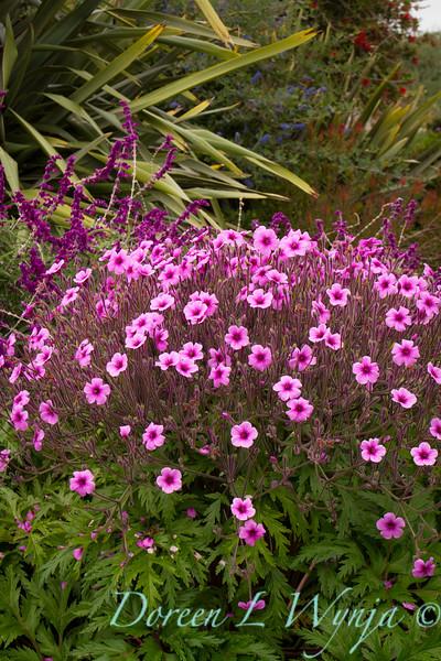 Callistemon; Ceanothus; Cranesbill; Geranium; Geranium maderense; giant geranium; leucantha; Madeiran Cranesbill; Madiera Island Geranium; Mexican Bush Sage; Phormium; Salvia