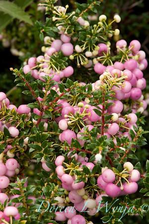 Gaultheria mucronata_006