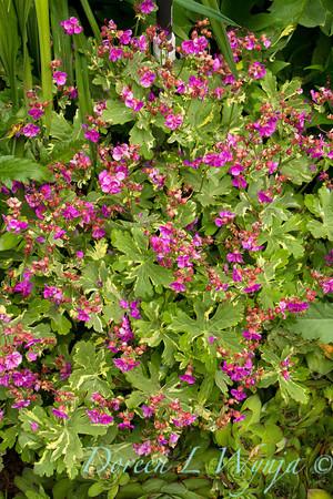 Geranium macrorrhizum Variegatum_001
