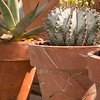 Hatiora salicornioides - terra cotta pot_1997