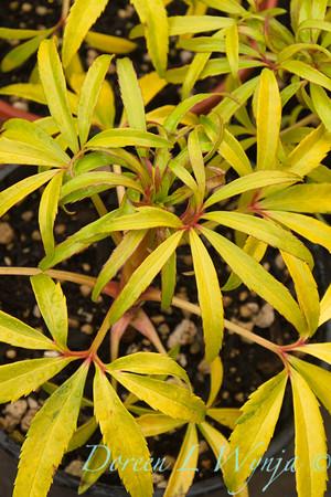 Helleborus foetidus Gold Bullion_006