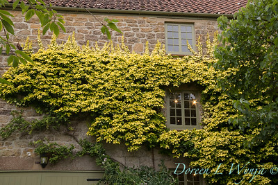 Hedera helix 'Buttercup'_2838