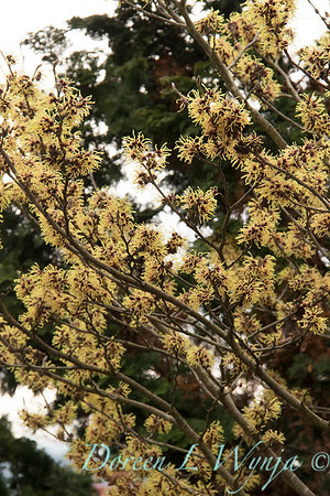 Hamamelis mollis 'Pallida' flowering_1267