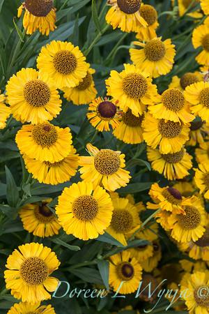 false sunflower; Helen's Flower; Helenium; Helenium Goldrausch