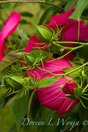 Hibiscus moscheutos_007