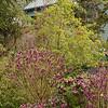 Helleborus × hybridus selections - Daphne mezereum_4035