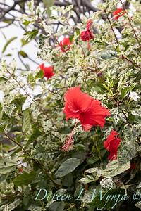 Hibiscus rosa-sinensis 'Cooperi' Cooper's Snowflake_0325