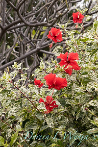 Hibiscus rosa-sinensis 'Cooperi' Cooper's Snowflake_0321