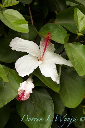 Hibiscus arnottianus_0345