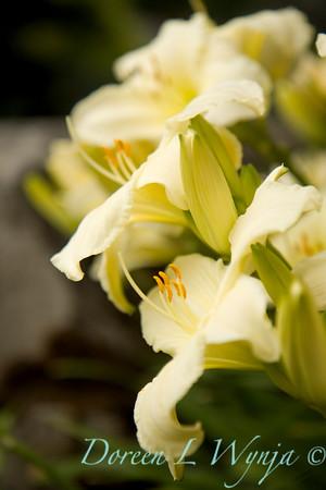 Hemerocallis x Joan Senior_016
