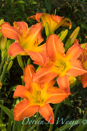 Hemerocallis Sherwood Cheer Daylily_7-20-05_002