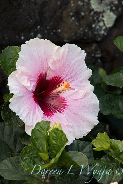 Hibiscus rosa sinensis 'High Voltage'_2038