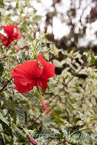 Hibiscus rosa-sinensis 'Cooperi' Cooper's Snowflake_0319