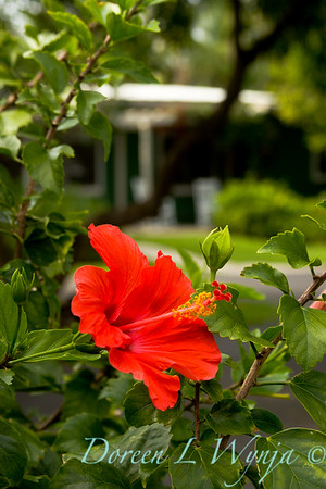 Hibiscus Red Hawaii_3-06_022