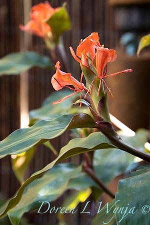 Hedychium greenii orange butterfly ginger_5238