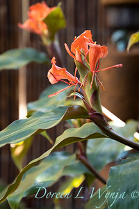 Hedychium greenii orange butterfly ginger_5238