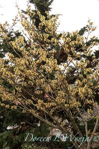 Hamamelis mollis 'Pallida' flowering_1265