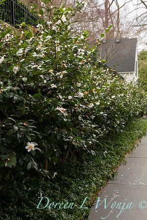 Camellia sasanqua 'Setsugekka' border_1134