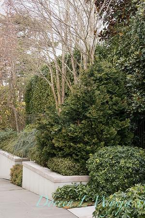 Chamaecyparis obtusa 'Nana Gracilis' - Choisya ternata - Magnolia grandiflora - Cedrus atlantica 'Glauca Pendula' landscape_1009