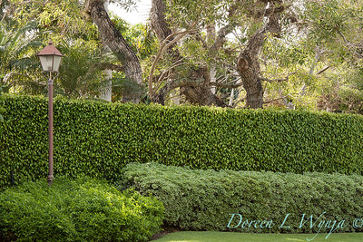 Ficus benjamina - Pittosporum tobira 'Variegata' double hedge_0050