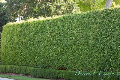 FIcus benjamina - Ilex vomitoria hedge_011