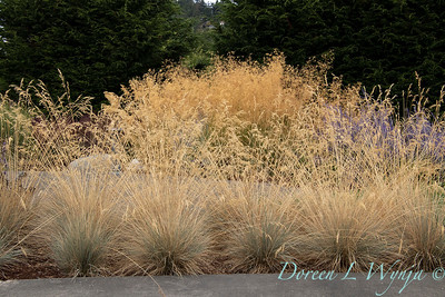 Festuca glauca 'Elijah Blue' – grass landscape_1346