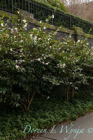 Camellia sasanqua 'Setsugekka' border_1136
