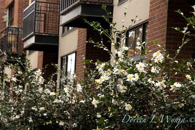 Camellia sasanqua 'Setsugekka' urban condo complex_3674