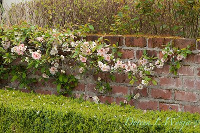 Chaenomeles cathayensis trained on a wall_0839