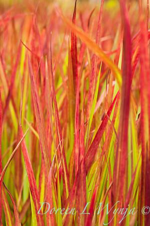 Imperata cylindrica Rubra, Red Baron_034