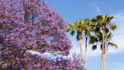 Jacaranda mimosifolia_056