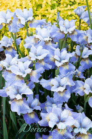 Iris sibirica light blue_002