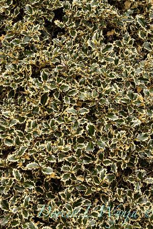 Ilex aquifolium Argenteo Marginata_037