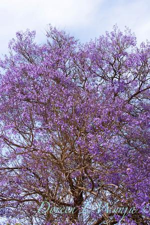 Jacaranda mimosifolia_026