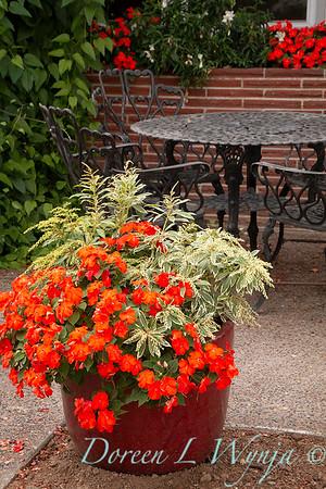 Impatiens walleriana Dazzler Scarlet - Pieris japonica 'Variegata' - patio container_1635