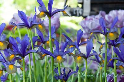 Iris x hollandica 'Eye of the Tiger'_1249