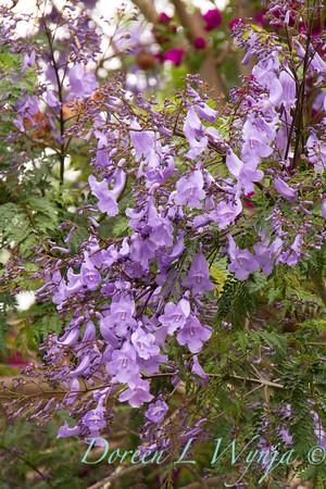 Jacaranda mimosifolia_0258