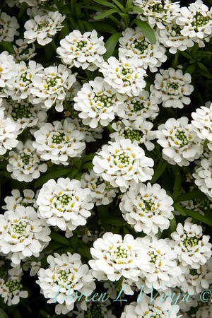 Iberis Sempervirens Candytuft_042