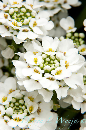 Iberis Sempervirens Candytuft_055