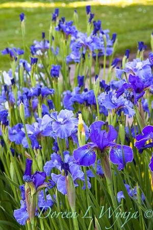Iris sibirica blue_002
