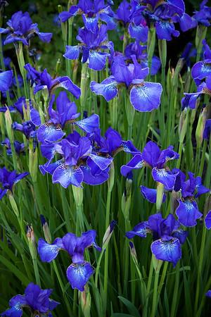 Iris sibirica blue_009