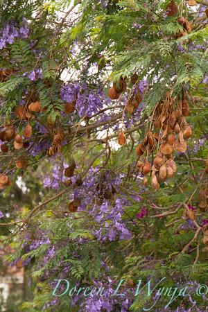 Jacaranda mimosifolia with seed pods_0260