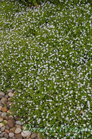 Isotoma fluviatilis_001
