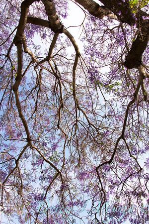 Jacaranda mimosifolia_059