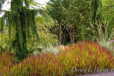 Imperata cylindrica Rubra Red Baron_0800_Doreen Wynja
