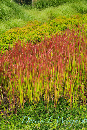 Imperata cylindrica Rubra, Red Baron_015